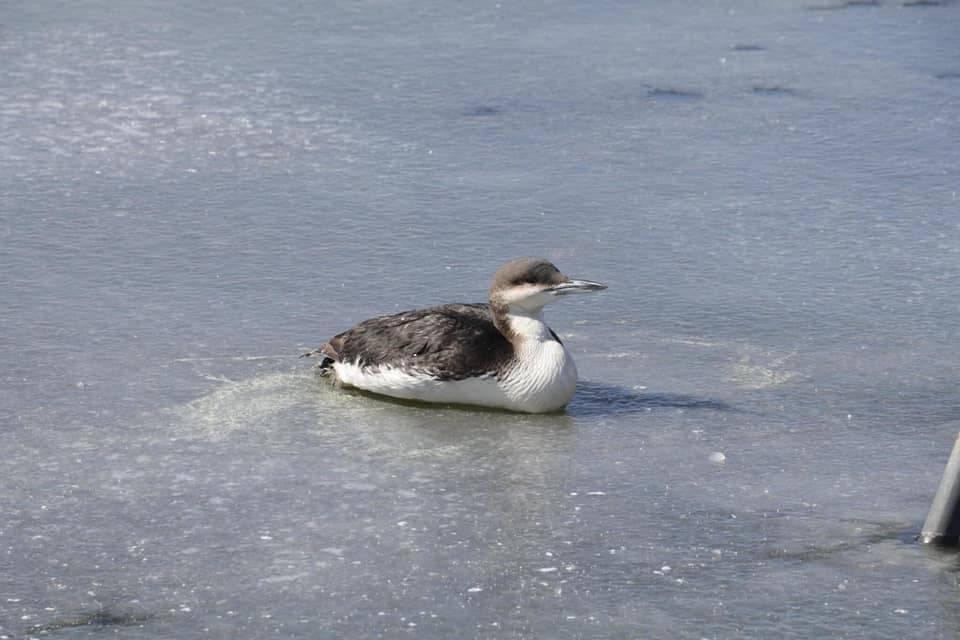 Donmak üzere olan kara gerdanlı dalgıç kuşunu itfaiye kurtardı 5