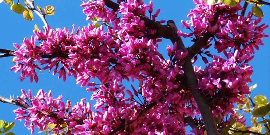 Yozgat'ta erguvanlar renkleriyle büyülüyor